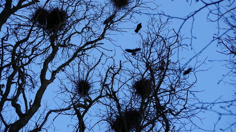 crow silhouettes flying in woods and nests slow life Footage