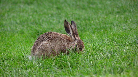 Small wild gray hare quickly chew green grass on lawn, telephoto view Footage