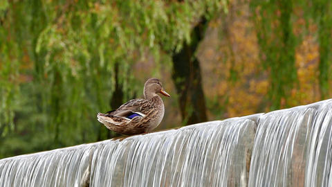 4K Duck on Edge of Artificial Water Threshold Against Green Trees Foliage Footage