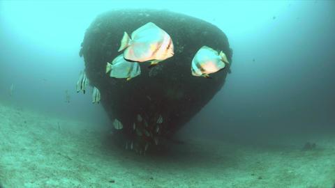Wreck with a school of spadefish. Batfish Footage