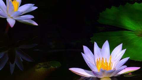 Beautiful water lily flowers at mysterious dark pond Stock Video Footage