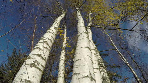 Autumn october time white birch tree trunk and wind, time lapse 4K Footage