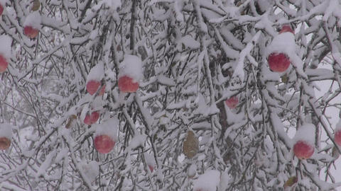Snowfall in autumn garden with red apple on branch and beehives Footage