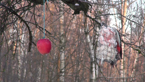 Great spotted woodpecker Dendrocopus major eating fat in bird feeder Footage