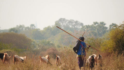 Shepherds with goats in Myanmar - Pagodas view background Footage