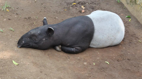Sleeping beauty animal Tapir Footage