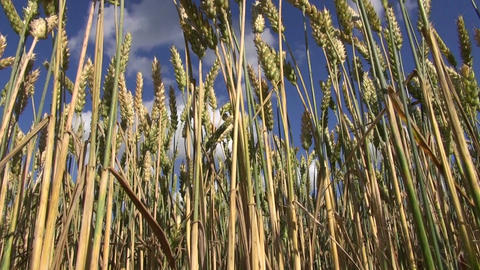 ripening wheat plants in field and sky clouds Footage