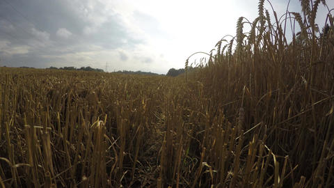 Partly harvested ripe wheat field, 4K time lapse Footage