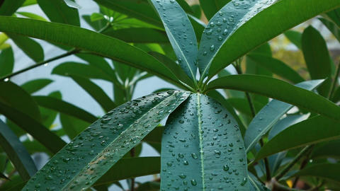 Drops of water on the leaves of a tree Filmmaterial