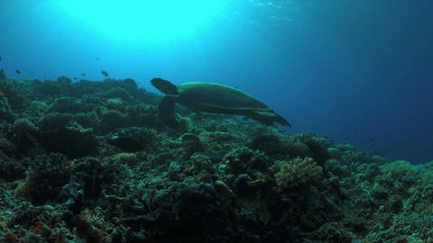 Hawksbill turtle swims over a Coral reef. 4K Footage