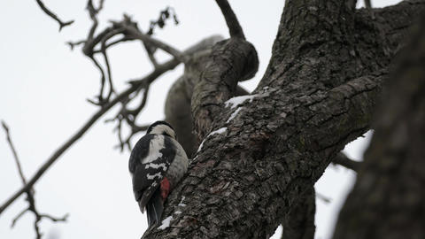 Great Spotted Woodpecker In Winter Live Action