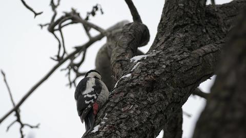 Great Spotted Woodpecker In Winter Footage
