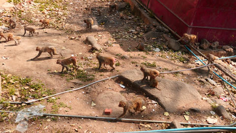 Big group of macaque monkeys in the yard of monastery - Myanmar. Popa hill monas Footage