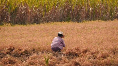 Woman working in a farming field in Myanmar Footage