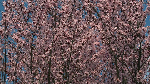 Cherry blossom trees with pink and red flowers on blue sky background Live Action