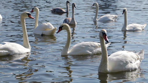 White Swans in the Water on a Sunny Day
