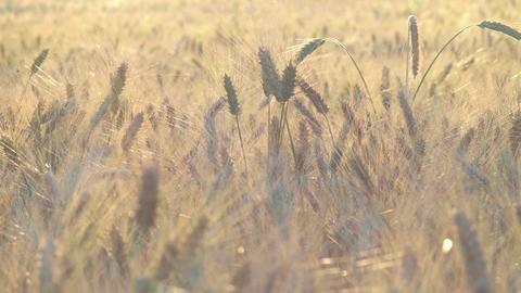 Wheat field Filmmaterial
