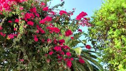 Europe Spain Balearic Ibiza towns and villages 196 blooming flowers against sky Footage