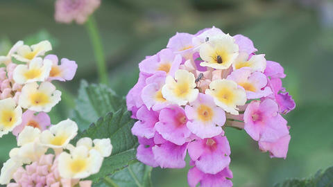 Insects on the flower of the Lantana Filmmaterial