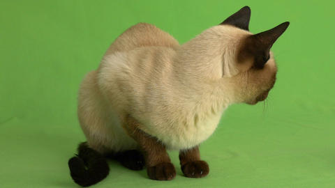Siamese cat looking around on green screen full shot Footage