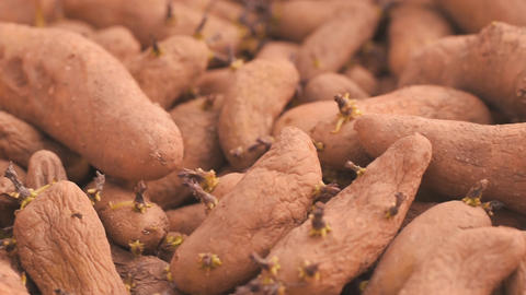 Prepared for planting potato seeds. Tubers with sprouts close up Footage
