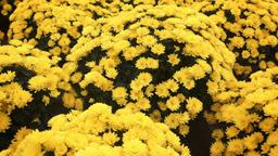 Camera slide over Chrysanthemum growing inside of greenhouse Filmmaterial