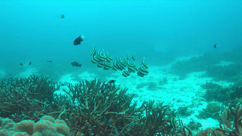 Bannerfish on a coral reef Footage