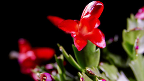 Schlumbergera Cactus Flower Opening Footage
