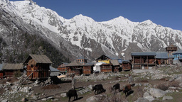 Cows passing,Chitkul,India Footage