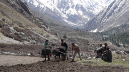 Bulls ploughing the fields and farmers watching,Chitkul,India Footage