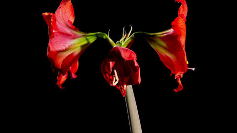 Red Amarilis Flower Opening Footage