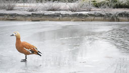 Ruddy shelduck on ice of pond Footage