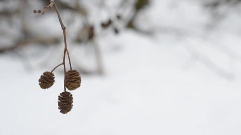 Alder catkins in winter Footage