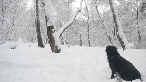 Black dog sits on snow Footage