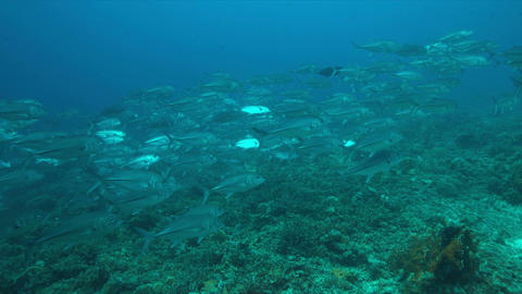 Big-eye Trevallies on a coral reef Filmmaterial