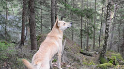 Dog Sniffs Air in Forest Footage