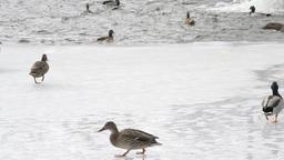 Wild ducks jump into water Footage