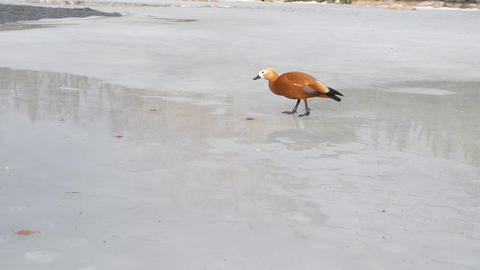 Ruddy Shelduck On Ice Footage