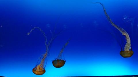 Jellyfish Sea Animals Marine Life At Osaka Aquarium In Japan Footage