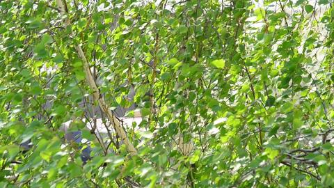 Birch foliage in spring Footage