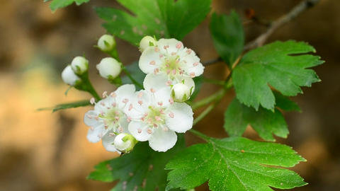 Hawthorn Flowers Footage