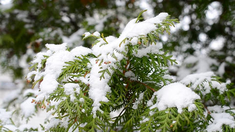 Snow on Green Thuja Footage