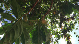Noni fruit on the tree Footage