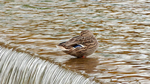 1080p Duck Sitting Hiding Its Beak in Feathers on Edge of Artificial Water Footage