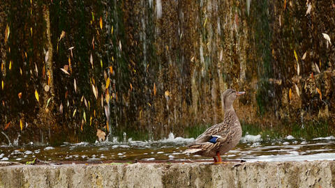 1080p Duck Flies Away Against Artificial Waterfall Background Footage