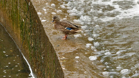 1080p Drake and Duck on Concrete Parapet of Artificial Water Threshold Footage