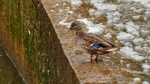 1080p Duck on Concrete Parapet of Artificial Water Threshold Footage