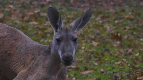 adult kangaroo close up and motion on grass Footage