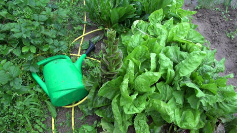 Rain falling on chicory and watering can Footage