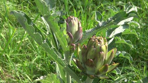 Artichoke flower buds Footage